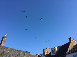 Red kites waiting for the next course in Thame!